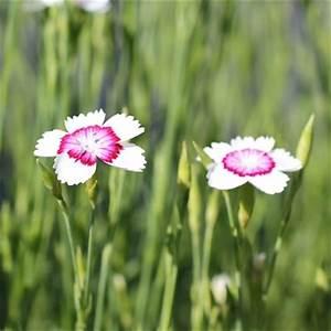 Dianthus deltoides 'Arctic Fire' Backnejlika - Wändels