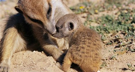 animales  ensenan  sus hijos national geographic en