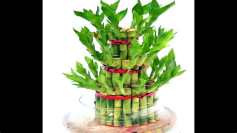 Lucky Bamboo Pflege by How To Grow Lucky Bamboo Lucky Bamboo Care Tips