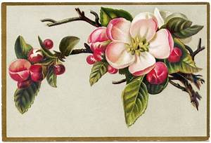 Free Vintage Image Apple Blossoms Card
