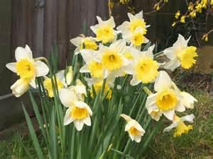 Spring Daffodil Screensavers