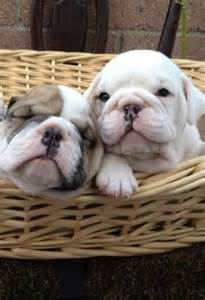 Babies English Bulldog Puppies