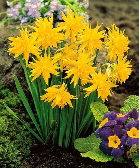 buy flowering daffodils rip winkle bakker