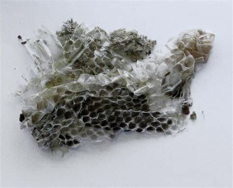 Snake Skin Shedding Lucky by 17 Best Images About Snake Magick Serpent Pagan