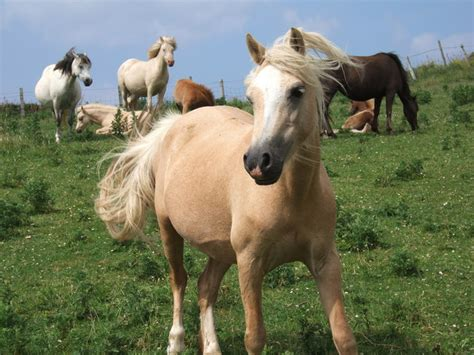 ponies pembrokeshire coast pony roscommon fun express geograph town ceridwen
