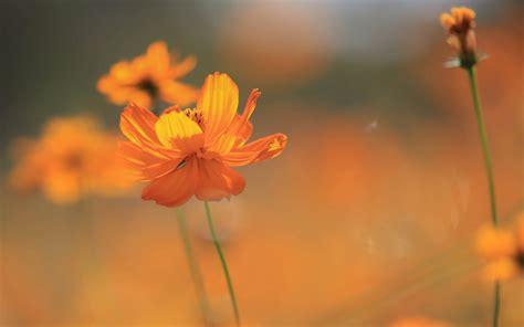 Orange Wallpaper Flower by Nature Flowers Cosmos Flower Orange Flowers