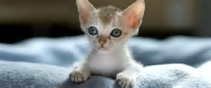 smallest cat breed the five smallest cat breeds in the world the smart