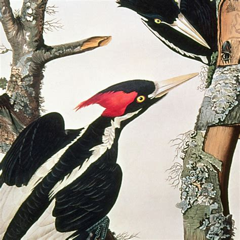 ivory billed woodpecker national geographic