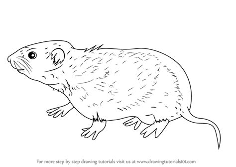 learn   draw  meadow vole rodents step  step