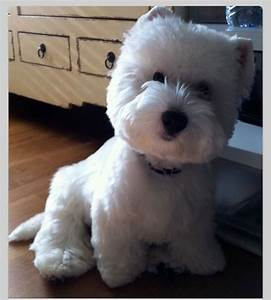 Westie Haircuts Pictures | haircut westie flickr photo ...