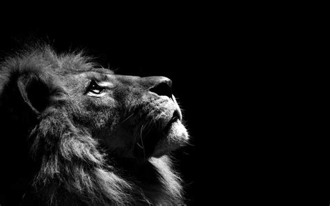 lion  wallpaper lion  wallpaper lion  wallpaper