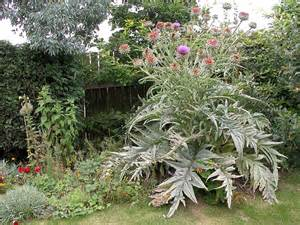 ornamental artichoke plant flickr photo