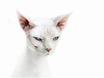 Sphynx Cat Sphinx Wallpapers Eyes Desktop Background