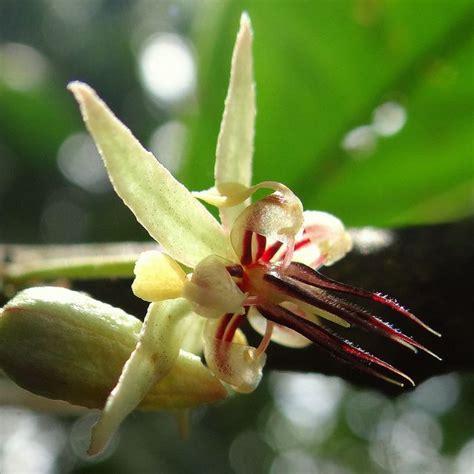 flor de cacao finca la pomarrosa barlovento centro