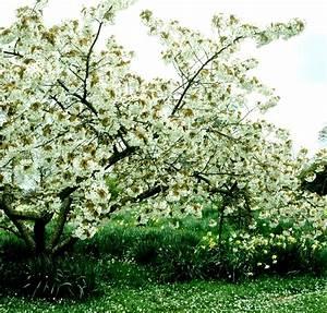Planter Un Cerisier : prunus avium planter et entretenir ooreka ~ Melissatoandfro.com Idées de Décoration