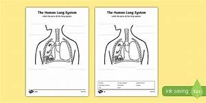 Human Body Lungs Diagram Labelling Worksheet    Activity