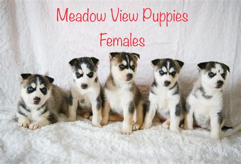 Sheila - Meadow View Puppies