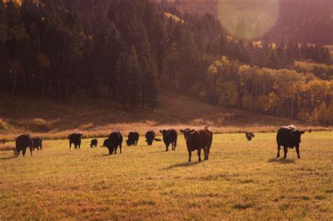 cme feeder cattle u s livestock cme live cattle soar limit up manitoba