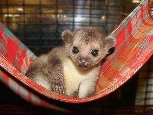 kinkajou, in, a, hammock, , so, adorable