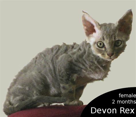 File Ee  Devon Rex Ee   Female Kitten Png