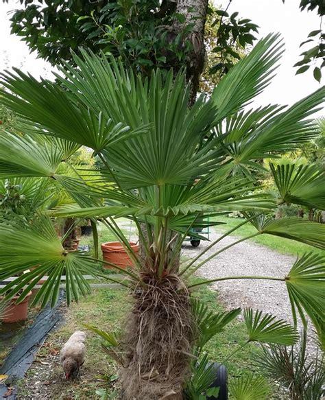 palmier d exterieur resistant au froid 28 images chamaerops humilis palmier nain jubaea