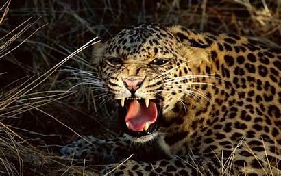 Wallpapers Animals Wild Animal Desktop Leopard Tiger