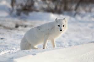 Tundra Animals That Live in the Snow