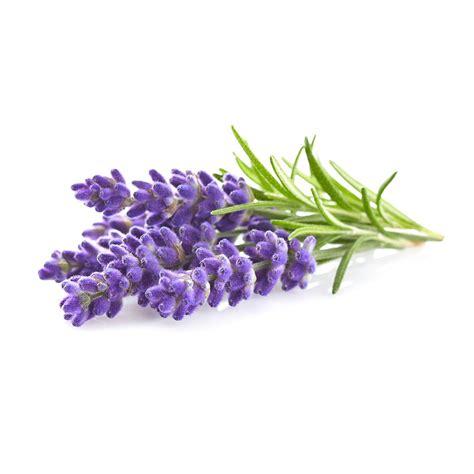 Bilder Mit Lavendel by Click And Grow Lavender Lavender Refill 3 Pack Smart