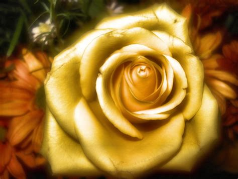 golden rose flowers nature background wallpapers