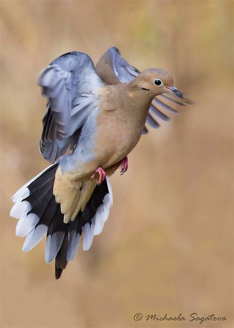 """""""Mourning Dove In Flight"""" by PixlPixi Redbubble"""