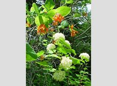 Lonicera ciliosa orange honeysuckle growisernet