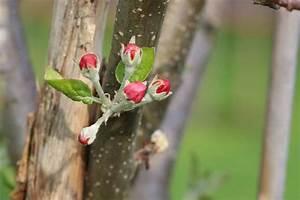 Apfelbaum Schneiden Wann : wann und wie sie einen apfelbaum schneiden anleitung ~ Watch28wear.com Haus und Dekorationen