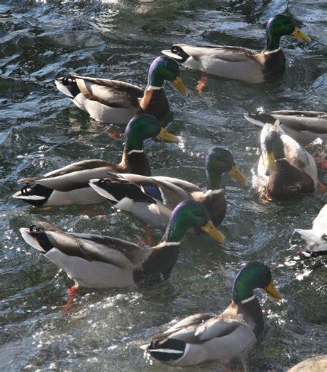 Fri for kommersiell bruk ✓ ingen henvisning nødvendig. Fugleinfluensa nær Helsingborg