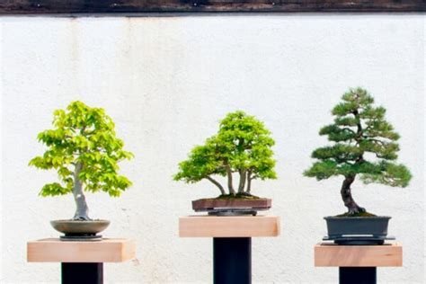 bonsai baum pflege bonsai baum pflegen schneiden ursprung arten saemereien ch