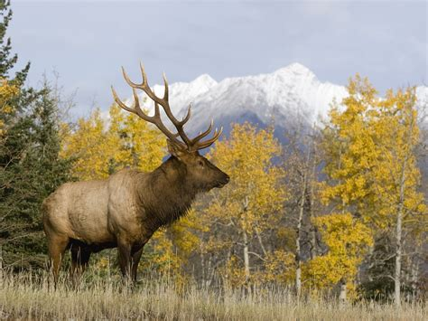 Animal Hd Wallpapers 1600x1200 - mountains animals alberta elk 1600x1200 wallpaper high
