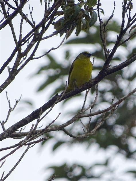 unknown finch like bird in costa rica zoochat