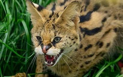 Wildcat Cat Wallpapers Serval Hissing Pixelstalk Arabian