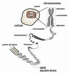 Fichier Chromosome Fr Svg  U2014 Wikip U00e9dia