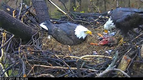 aef dc eagle cam a day with dc4 and dc5 3 31 17 youtube