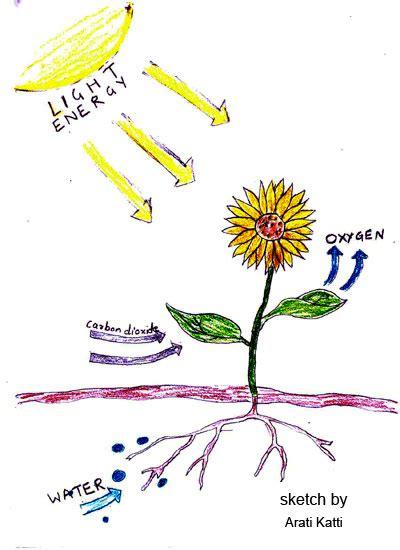 photosynthesis explained   diagram