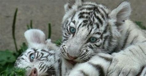 White Bengal Tiger Cubs Love Your Furry Face