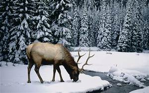 Elk Animal Quot... Elk Animal Quotes