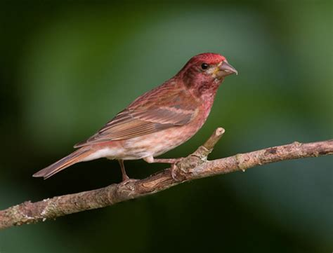 purple finch native to ontario the purple finch spends