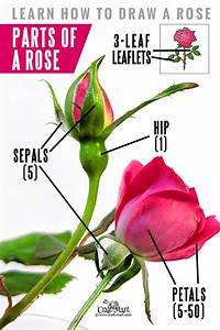 How To Draw A Rose Step