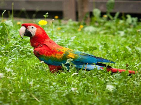 scarlet macaw coloredparrot bird wallpapers hd
