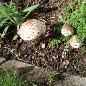 Pilze Im Gartenbeet by Pilze Im Gartenbeet Garten House Und Dekor Galerie