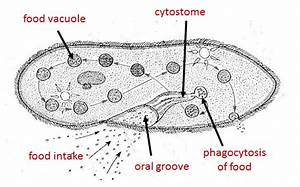 What Part Of The Paramecium Functions As The Food Entry