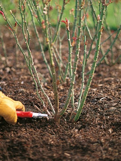 how to prune roses how to prune rose bushes pruning roses hgtv