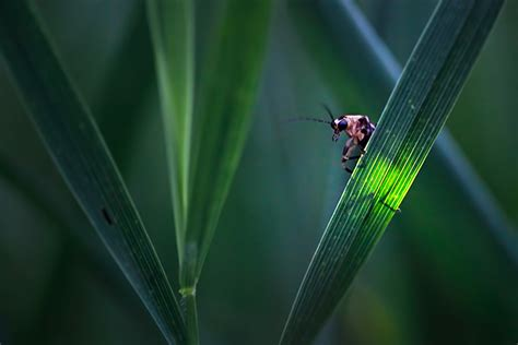 light up bug firefly experience photographs of lightning bugs and
