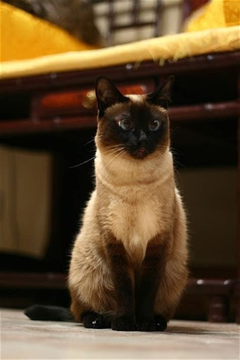 siamese cats talk much why meow